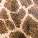 Echte leerhuid van giraf Stock Foto's