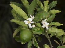 Limette-Limettenbaum Stockbilder