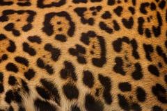 Echte Luipaardhuid voor achtergrond royalty-vrije stock afbeeldingen