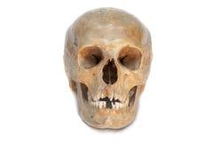 Echte schedel van mens. Geïsoleerds. Stock Foto