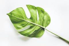 Echte tropische bladerenachtergronden op wit Botanisch aardconcept royalty-vrije stock foto's