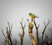 Echte zwarte & gele vogel die van Parus de belangrijke Chapim zich op een boom bevinden stock afbeeldingen