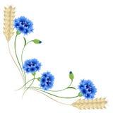 Ecke mit blauen Kornblumen und den Weizenähren auf einem weißen Hintergrund Stockbild