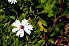 Ecklonis de Osteospermum del Asteraceae - margarita blanca con collecti de la abeja Foto de archivo libre de regalías
