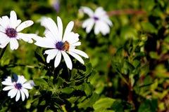 Ecklonis de Osteospermum del Asteraceae - margarita blanca con collecti de la abeja Imagen de archivo libre de regalías