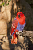 Eclectic Parrot. View of a colorful parrot eclectic Stock Image