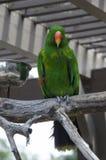 Eclectics-Papagei Lizenzfreie Stockfotografie