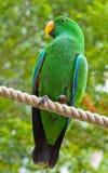 eclectus鹦鹉被栖息的绳索 免版税图库摄影