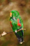 Eclectus鹦鹉, Eclectus roratus polychloros,绿色和红色鹦鹉坐在分支的,明白棕色背景,在nat的鸟 库存图片
