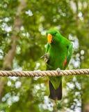 Eclectus鹦鹉, QLD,澳大利亚 图库摄影
