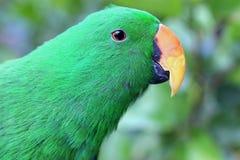 Eclectus鹦鹉 免版税图库摄影