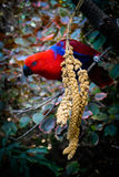 Eclectus Photo stock
