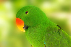 Eclectus d'oiseau Photos stock