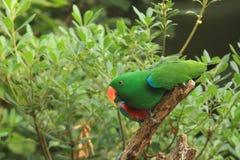 Eclectus Papagei Stockfoto