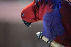 Eclectus Papagei Stockbild