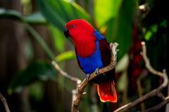 Eclectus-Papagei an Bloedel-Konservatorium lizenzfreies stockbild