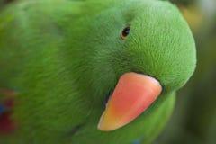 Eclectus Papagei - Mann Stockbild