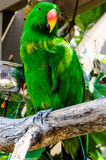 Eclectus papegoja Arkivbilder