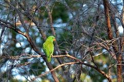 Eclectus papegoja Arkivfoton