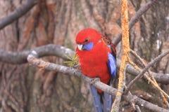 Eclectus papegoja Royaltyfri Fotografi
