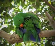 Eclectus papegoja Royaltyfria Foton