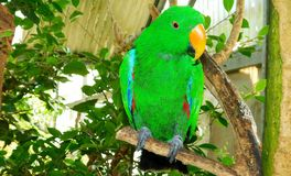 Eclectus papegoja Arkivfoto