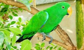Eclectus papegoja Royaltyfri Bild
