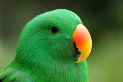 eclectus papuga Zdjęcie Stock