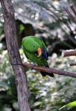 Eclectus Papuga Fotografia Stock