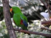 Eclectus Papuga Zdjęcie Royalty Free