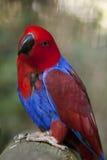 Eclectus Papuga Zdjęcia Royalty Free