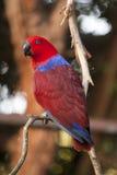 Eclectus Papuga Obrazy Royalty Free