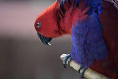 Eclectus Papuga Obraz Stock