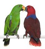 eclectus papugi żeńskie męskie Zdjęcia Royalty Free