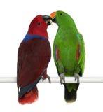 eclectus papugi żeńskie męskie Fotografia Royalty Free