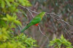 Eclectus papugi samiec zdjęcie royalty free