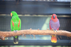 Eclectus parrot. The parrot couples standing on the branches. They seem in the quarrel Stock Photo