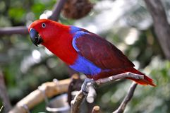 Eclectus Parrot Royalty Free Stock Photo