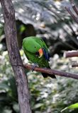 Eclectus Parrot Stock Photography