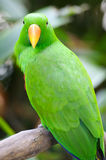 Eclectus Parrot. A close up shot of a male Eclectus Parrot Stock Image