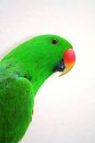 Eclectus Parrot. At the zoo Royalty Free Stock Image