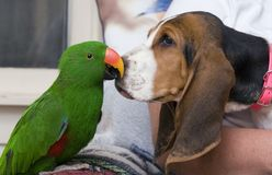 Eclectus parrot and Bassett Hound Royalty Free Stock Photography