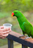 Eclectus parrot drinks milk Royalty Free Stock Photo