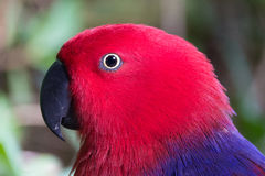 Eclectus parrot female Stock Image
