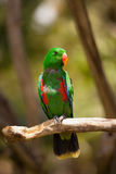 The Eclectus Parrot or Grand Eclectus Royalty Free Stock Photography