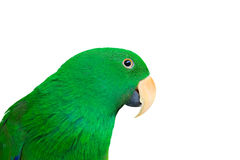 Eclectus Parrot isolate on white Stock Photo