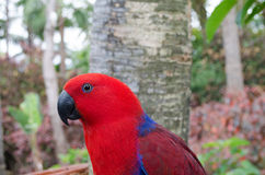 Eclectus parrot in Loro Park Tenerife. Royalty Free Stock Photo