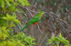 Eclectus parrot Male Royalty Free Stock Photo