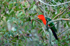 Eclectus parrot Male Royalty Free Stock Image