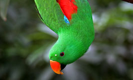 Eclectus parrot Stock Photos
